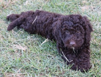 Spoodle Chocolate Female